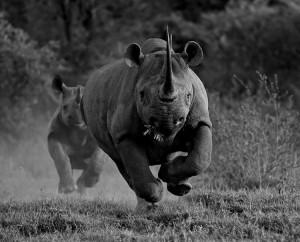 A Black Rhino charging in the bush